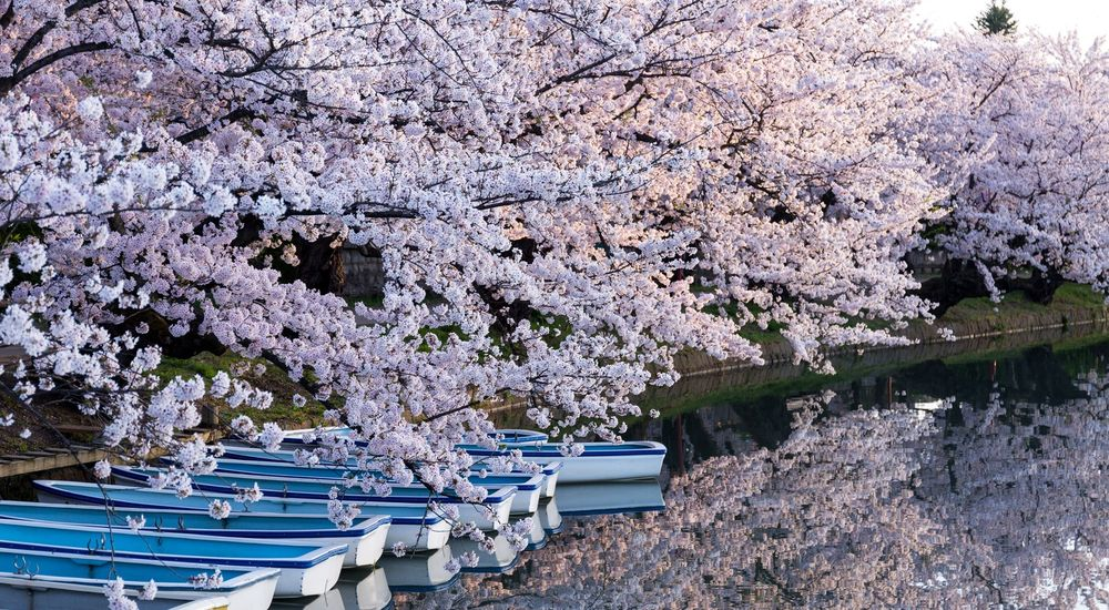 『桜の木の下には』くらげシリーズ|洒落怖名作まとめ【ホラーテラーシリーズ】